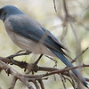 Mexican Jay -  Ash Canyon B&B