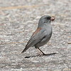 Gray-headed Junco - - Mt. Lemmon
