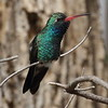 Broad-billed Hummingbird - Paton Center, Patagonia