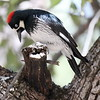 Acorn Woodpecker - - Mt. Lemmon