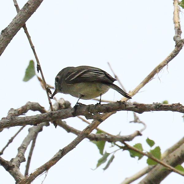Hammond Flycatcher - Santa Gertrudis Lane