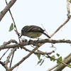 Hammond Flycatcher - Santa Gertrudis Lane