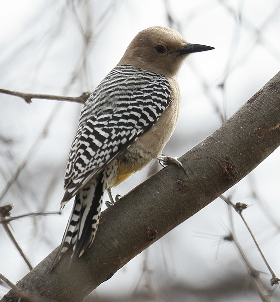 Gila Woodpecker - Paton Center, Patagonia