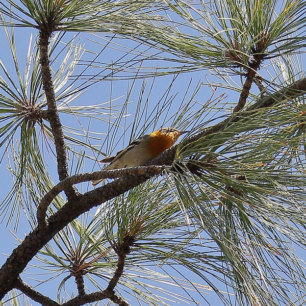 Olive Warbler -- Mt. Lemmon