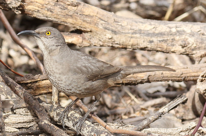 Curve-billed Thrasher -  Paton Center, Patagonia