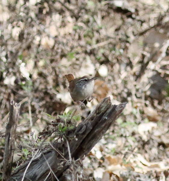 Sinaloa Wren  coming out of leaves - Santa Gertrudis Lane