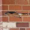 Cooper's Hawk - At Tucson private home where the Streaked-backed Oriole  should have been.