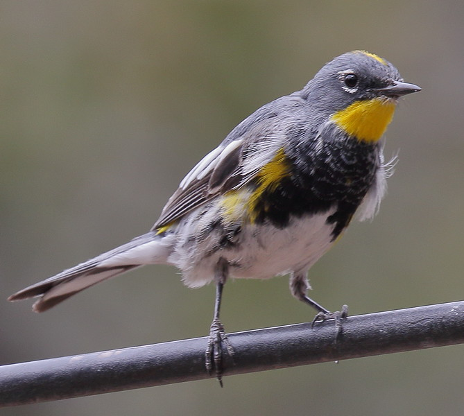 Yellow-rumped Warbler (Audubon's) -  Ash Canyon B&B