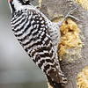Ladder-backed Woodpecker -  Ash Canyon B&B