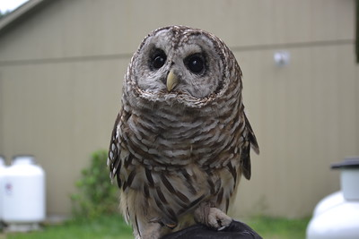 DSC_5653_This is Troy, a 4-year-old barred owl, held by volunteer Zooey Zullo