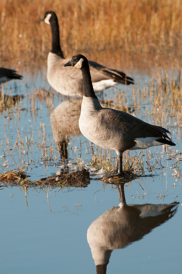 10b October -  Geese Adjusted-911