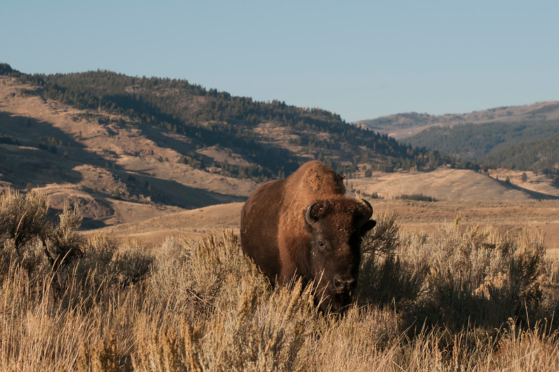 08 August - Female Bison - Local Adjustments-1187