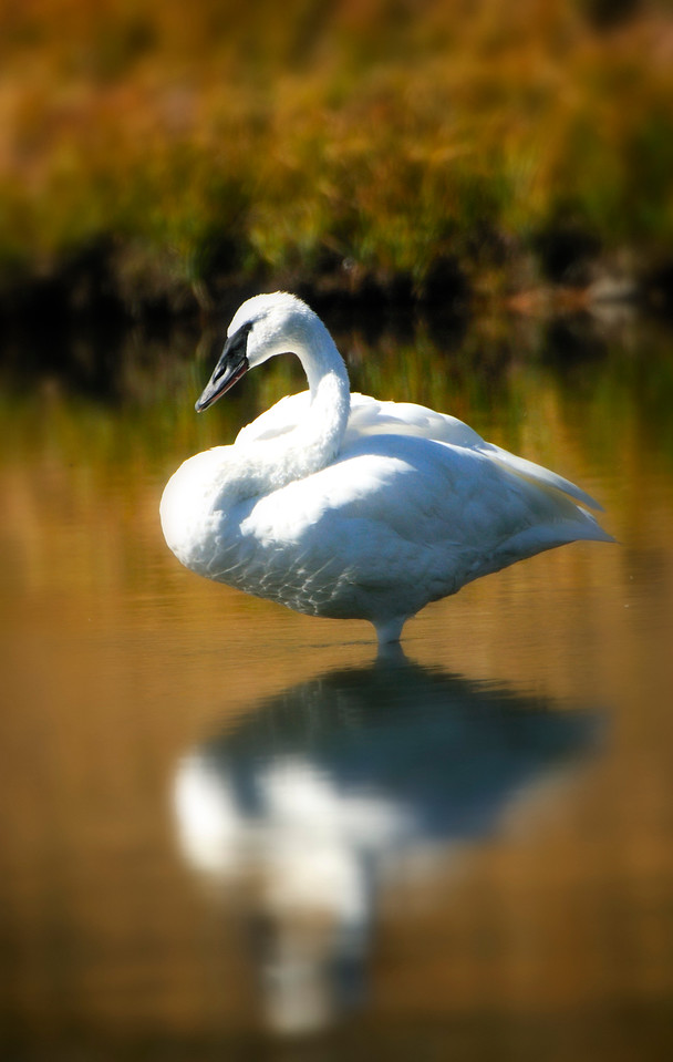 10a October - Trumpeter Swan 2