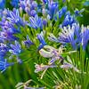 CarolCrosson_Blue_Wk25.46