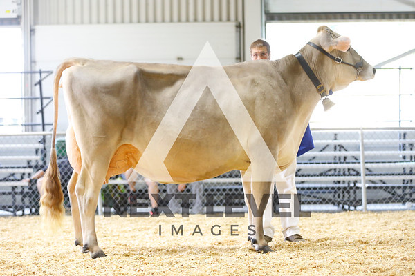 2016 Brown Swiss Cows