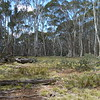 Forest is mostly clear travel with bits of wattle regrowth