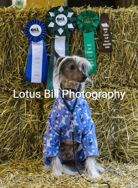 Chinese Crested (20 of 30).jpg