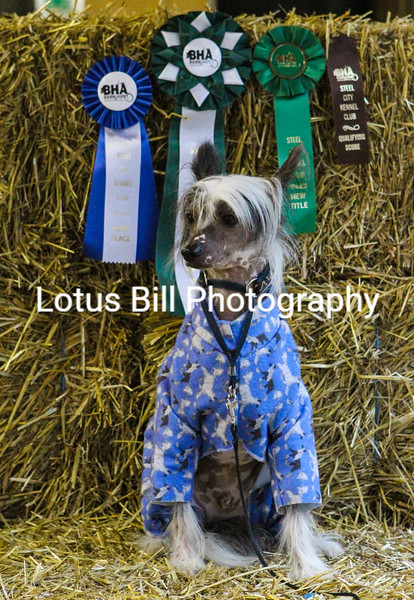Chinese Crested (21 of 30).jpg
