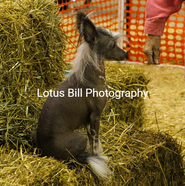 Chinese Crested (7 of 30).jpg