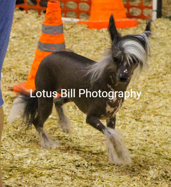 Chinese Crested (5 of 30).jpg