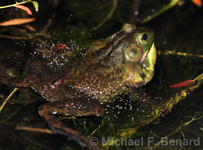 Bellowing male bullfrog