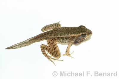 Metamorphosing Pickerel Frog