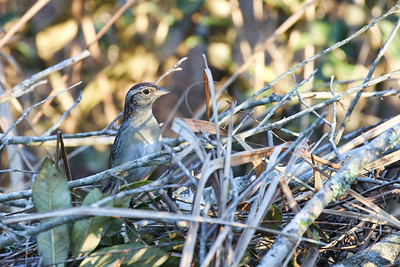 Bachman's Sparrow @ Withlacoochee SF--Citrus Tract - Feb 2018