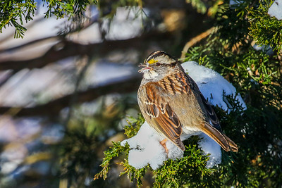 White-throated Sparrow @ Dawes Arboretum - January 2018