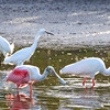 Roseate Spoonbill, White Ibis, and Snowy Egrets