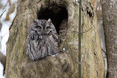 Eastern Screech Owl, Franklin Co, OH - January 2018