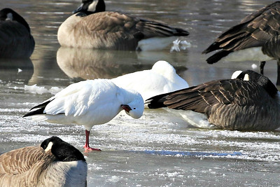 Ross's Geese @ Kiwanis Park, Cols OH - January 2018