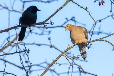 Morning Dove @ Dawes Arboretum - January 2018