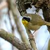 Common Yellowthroat Warbler @ Magee Marsh - May 2018