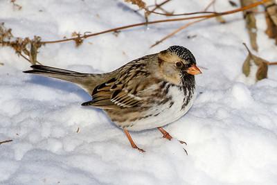 Harris Sparrow @ Dawes Arboretum - January 2018