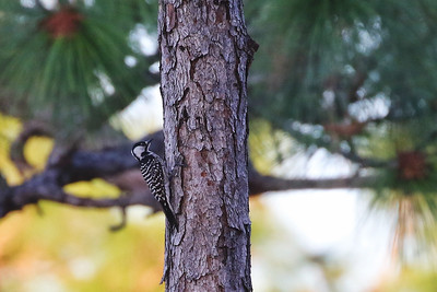 Red-cockaded Woodpecker @ Withlacoochee SF--Citrus Tract - Feb 2018