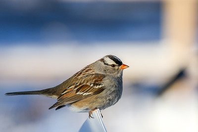 White-crowned Sparrow @ Dawes Arboretum - January 2018