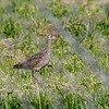 Upland Sandpiper @ OSU Cattle Ranch - May 2018