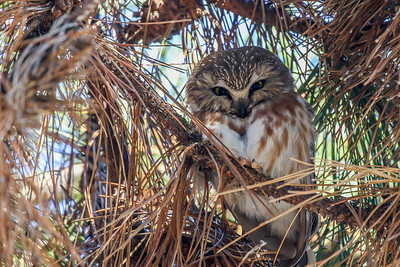 Saw-Whet Owl @ Cleveland Lakefront Nature Preserve - Jan 2018
