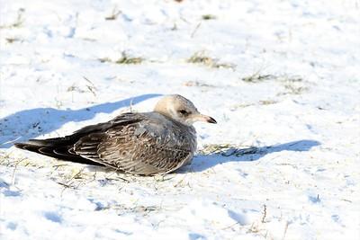 Mew Gull @ Greenlawn Dam - January 2018