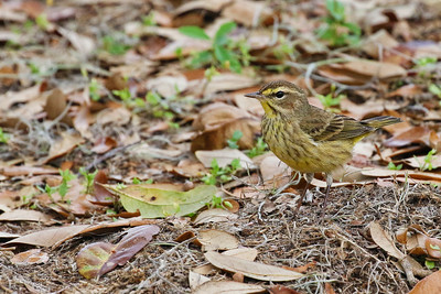 Palm Warbler @ Carney Island Recreation and Conservation Area, FL - Feb 2018