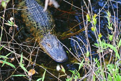 Alligator @ The Villages, FL - Feb 2018