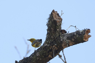 Pine Warbler @ Withlacoochee SF--Citrus Tract - Feb 2018