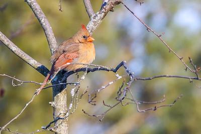 Northern Cardinal @ Dawes Arboretum - January 2018