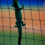 A Gators toy hangs from the netting as the Gators defeat the #8 Texas A&M Aggies 7-3 to complete the sweep at Katie Seashole Pressly Softball Stadium in Gainesville, Florida.  March 26th, 2018. Gator Country photo by David Bowie.