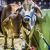 Cattle Barn-3957