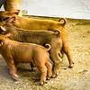 Swine-3946