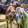Cattle Barn-3956