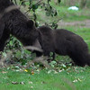Video #2 - Grizzly Bears - Eating Apples from  Tree -iMovie 2