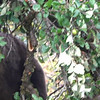 Video #1 - Grizzly Bear - In Apple Tree -iMovie 1