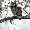 GH Owl Adult